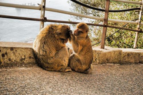Gibraltar - opičky